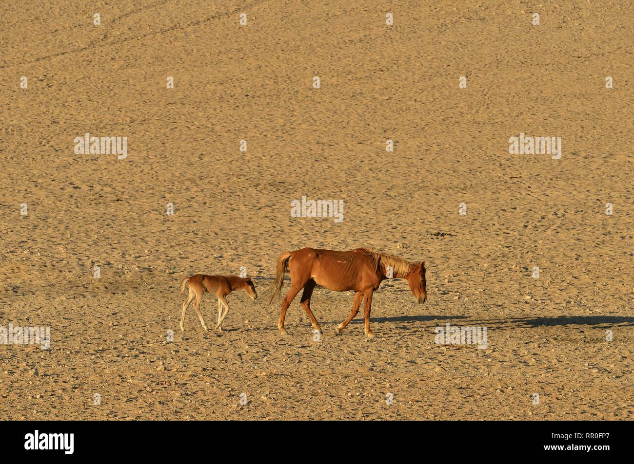 zoology, mammal (mammalia), Namib Desert horse, Namibian wild horse or Namib (Equus ferus) near of the, Additional-Rights-Clearance-Info-Not-Available - Stock Image