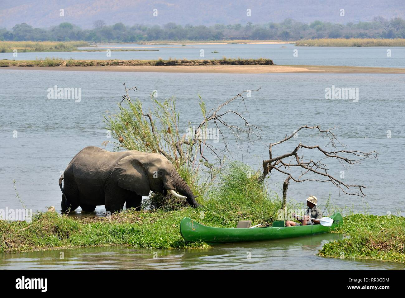 zoology, mammal (mammalia), guide approaches oneself on the Zambezi with the canoe a elephant (Loxodon, Additional-Rights-Clearance-Info-Not-Available - Stock Image