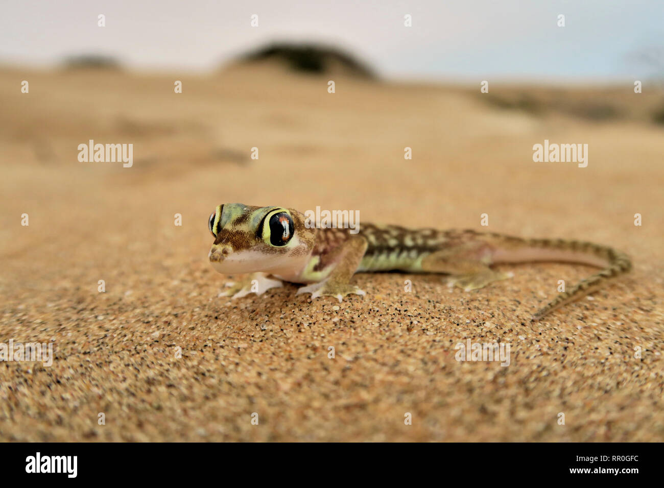 zoology, reptile (Reptilia), Namib sand gecko, web-footed gecko or Namib sand gecko (Pachydactylus ran, Additional-Rights-Clearance-Info-Not-Available Stock Photo