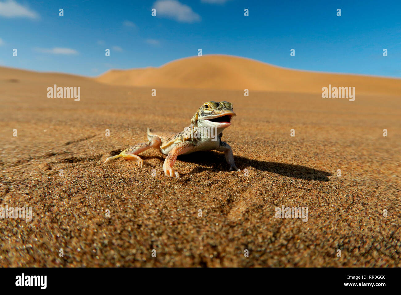 zoology, reptile (Reptilia), Desert lizard (Meroles anchietae), Namib Desert with Swakopmund, Namibia, Additional-Rights-Clearance-Info-Not-Available - Stock Image