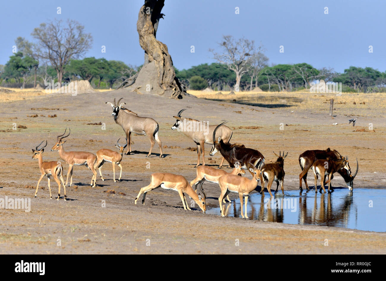 zoology, mammal (mammalia), sable (Hippotragus Niger), roan (Hippotragus equinus) and impalas (Aepycer, Additional-Rights-Clearance-Info-Not-Available - Stock Image