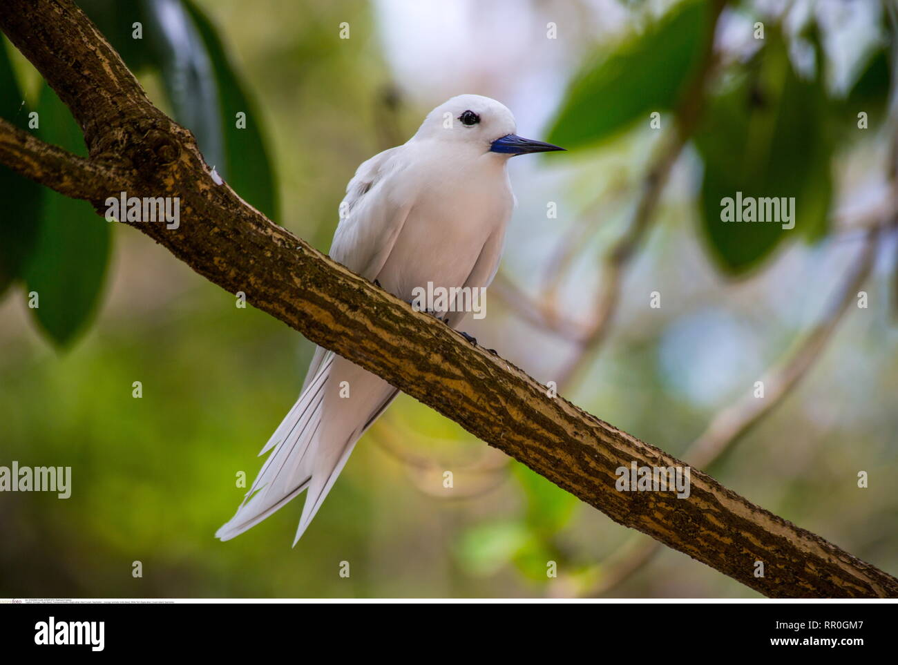 zoology / animals, birds (Aves), White Tern (Gygis alba), Cousin Island, Seychelles, Additional-Rights-Clearance-Info-Not-Available - Stock Image