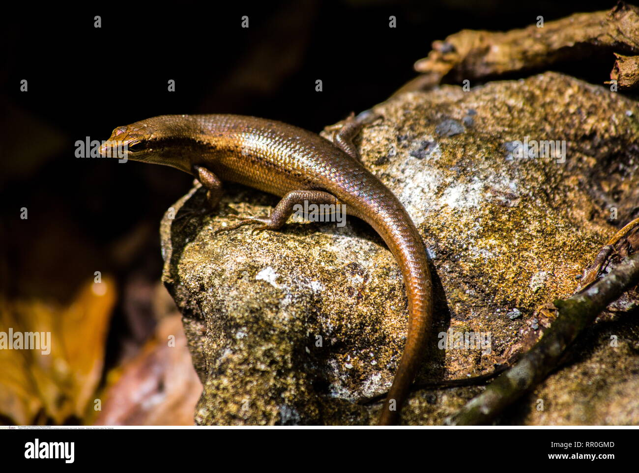 Eidechse, Seychellen / Skink, Tier, Tierkunde, Additional-Rights-Clearance-Info-Not-Available - Stock Image