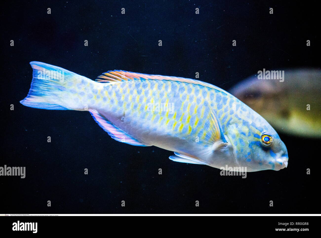 Lippfisch, Tier, Tierkunde, Additional-Rights-Clearance-Info-Not-Available - Stock Image