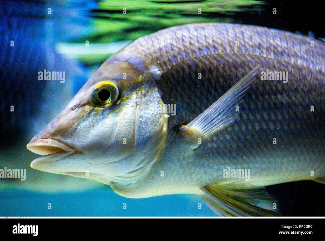 zoology / animals, fish (Pisces), Pomacentridae, Eden Island aquarium, Mahe, Seychelles, Additional-Rights-Clearance-Info-Not-Available - Stock Image