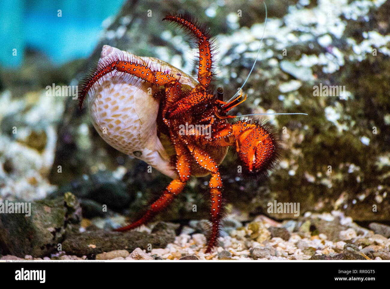 zoology / animals, crustacean (Crustacea), hermit crab (Paguroidea), Eden Island aquarium, Mahe, Seych, Additional-Rights-Clearance-Info-Not-Available - Stock Image