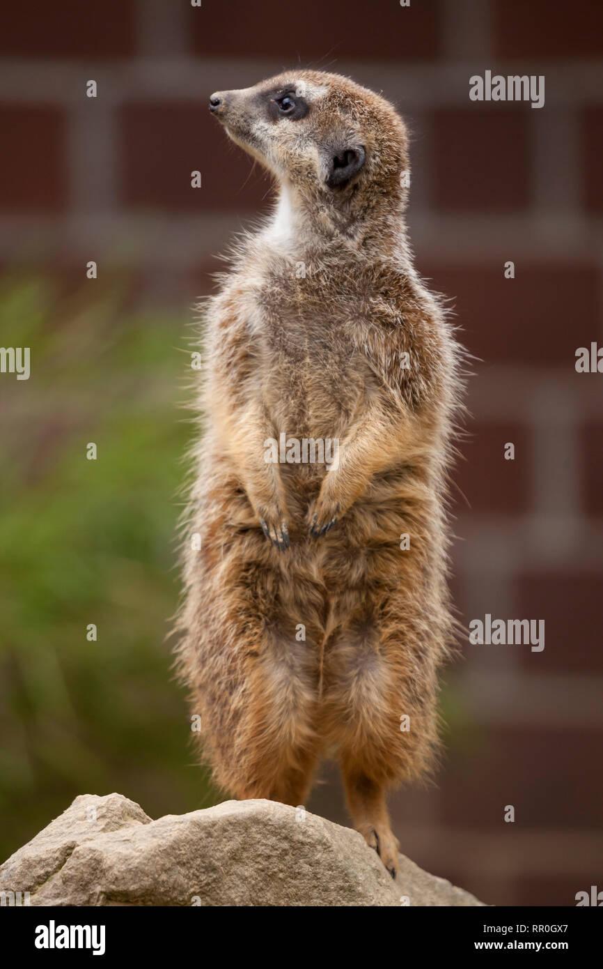 zoology / animals, mammal / mammalian, meerkat (Suricata suricatta), Zoo Dortmund, Germany, Additional-Rights-Clearance-Info-Not-Available - Stock Image