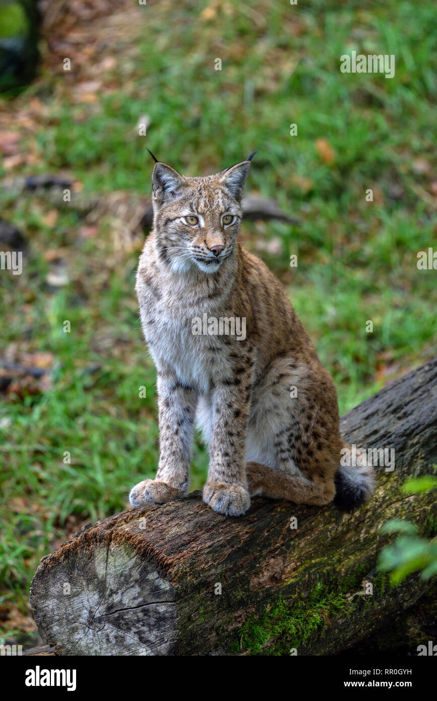zoology / animals, mammal (mammalia), Eurasian lynx (Lynx Lynx), Parc Animalier de Sainte-Croix, natur, Additional-Rights-Clearance-Info-Not-Available - Stock Image