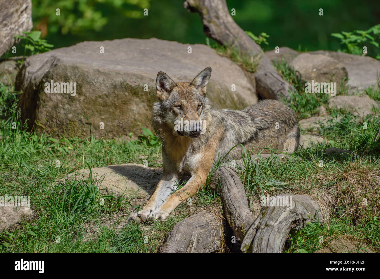 zoology / animals, mammal (mammalia), Eurasian wolf (Canis lupus lupus), Parc Animalier de Sainte-Croi, Additional-Rights-Clearance-Info-Not-Available - Stock Image