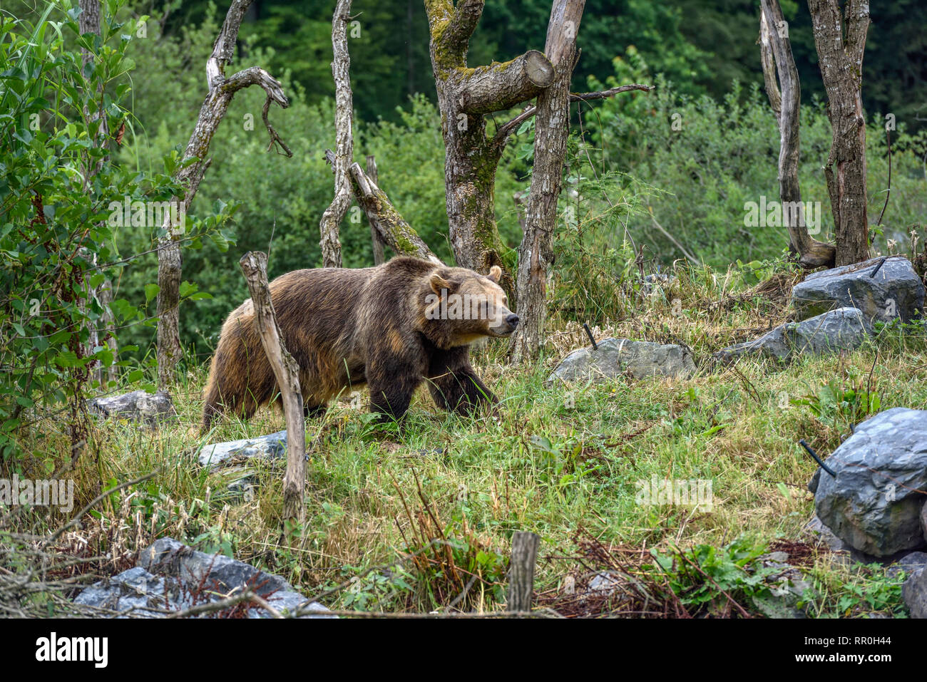 zoology / animals, mammal (mammalia), European brown bear or Eurasian brown bear (Ursus arctos arctos), Additional-Rights-Clearance-Info-Not-Available - Stock Image