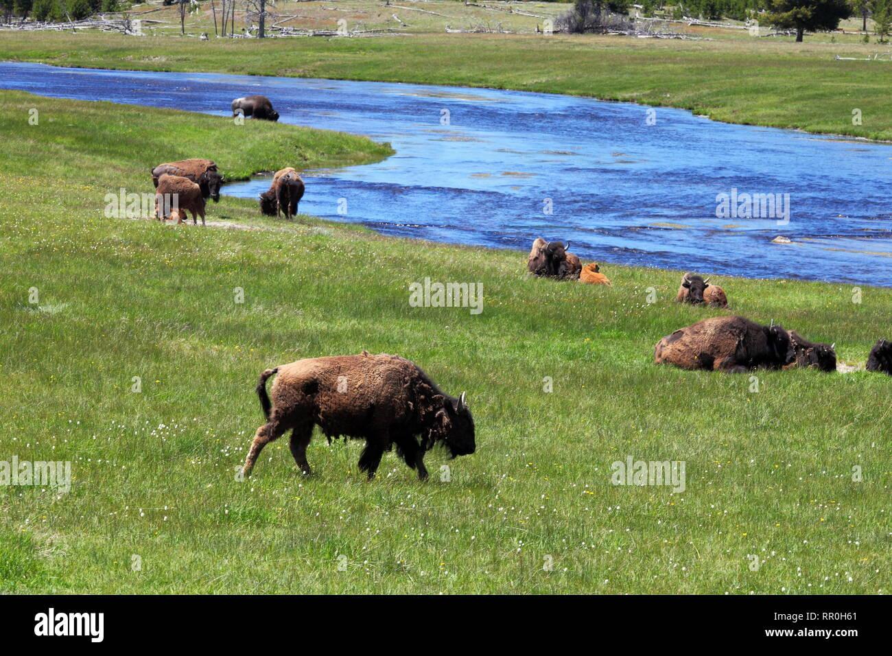 zoology / animals, mammal / mammalian (mammalia), American buffalo (Bos bison), Firehole River, Yellow, Additional-Rights-Clearance-Info-Not-Available - Stock Image