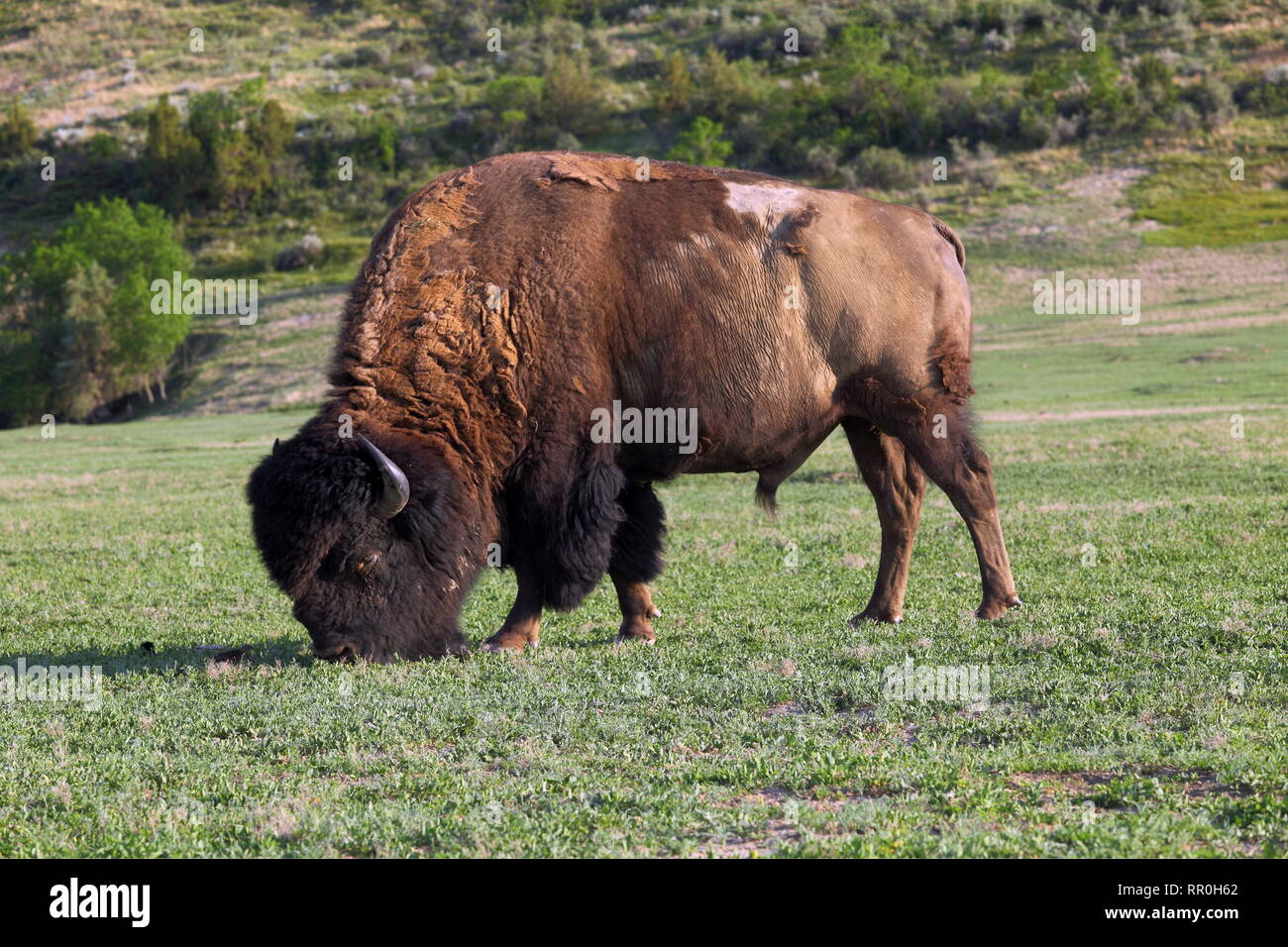 zoology / animals, mammal / mammalian (mammalia), American buffalo (Bos bison) im Theodore Roosevelt N, Additional-Rights-Clearance-Info-Not-Available - Stock Image