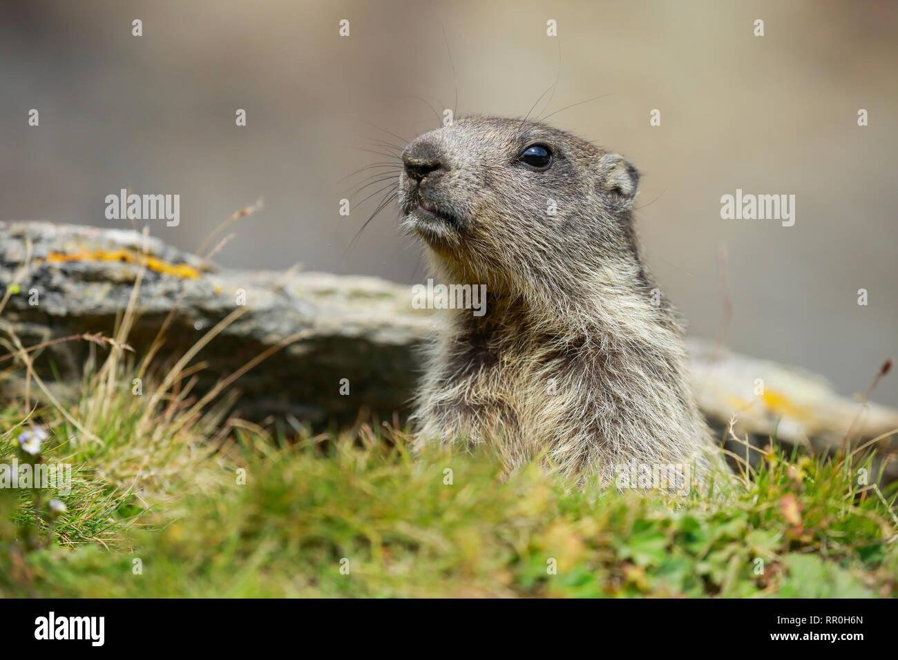 zoology, mammal (mammalia), alpine marmot (Marmota Marmota), Additional-Rights-Clearance-Info-Not-Available - Stock Image