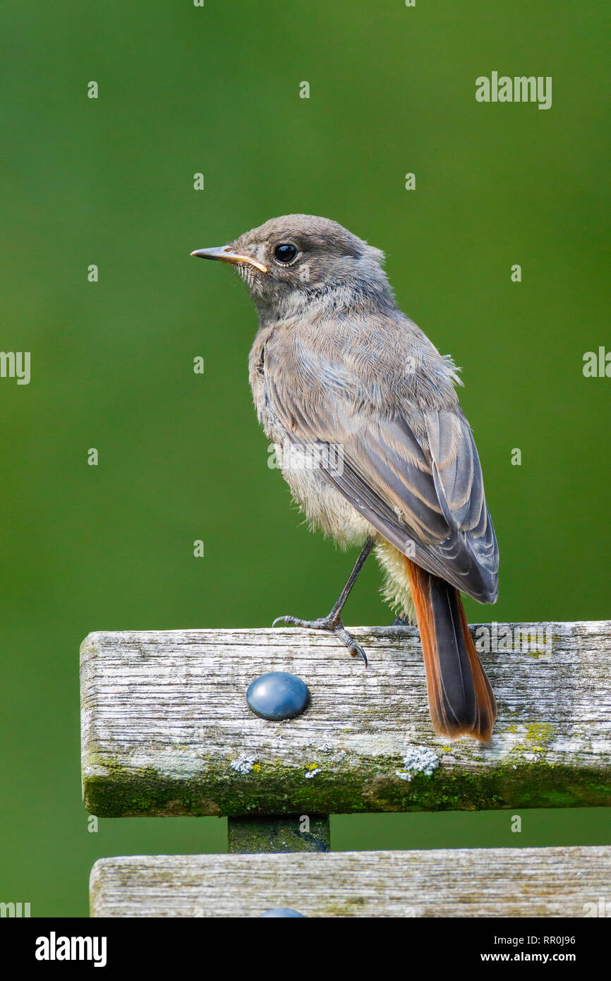 zoology, birds (Aves), Black Redstart, Phoenicurus ochruros, Switzerland, Additional-Rights-Clearance-Info-Not-Available - Stock Image