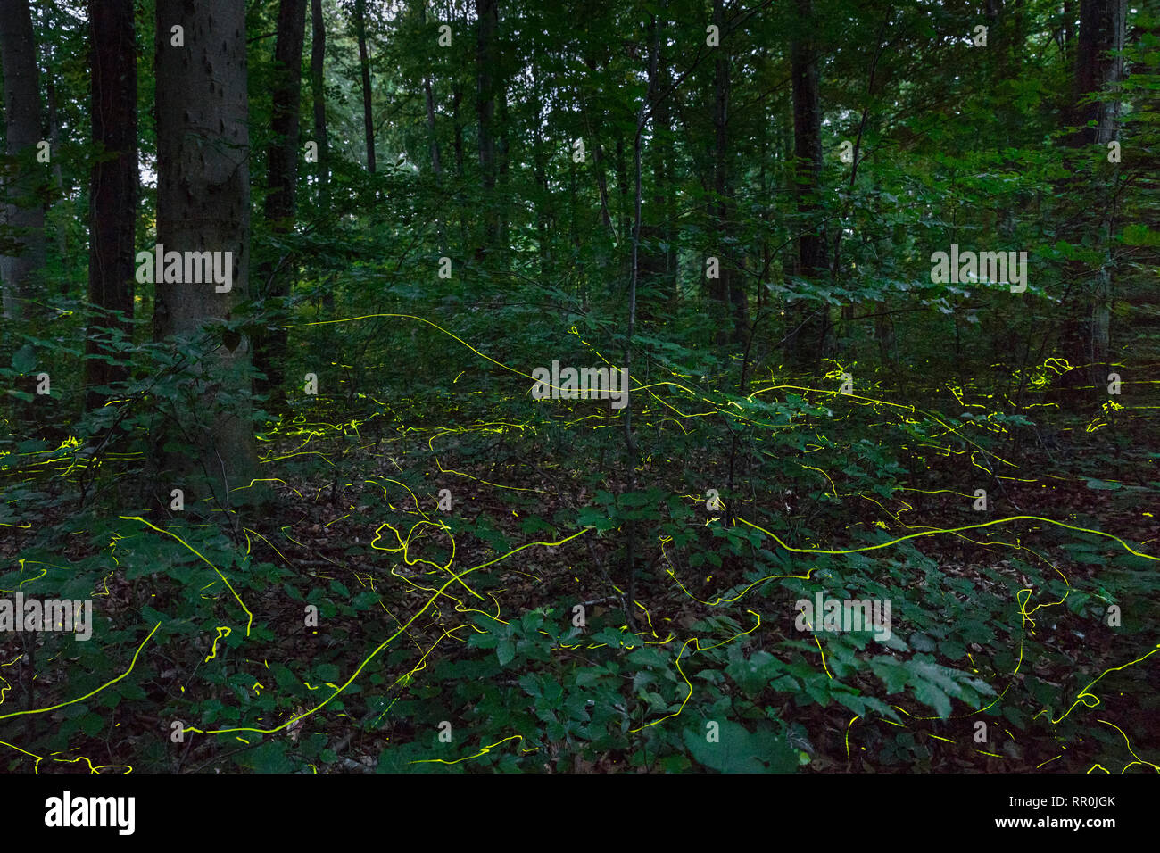 zoology / animals, insects (Insecta), firefly (Lampyridae), in the forest, Schaffhausen, Switzerland, Additional-Rights-Clearance-Info-Not-Available Stock Photo