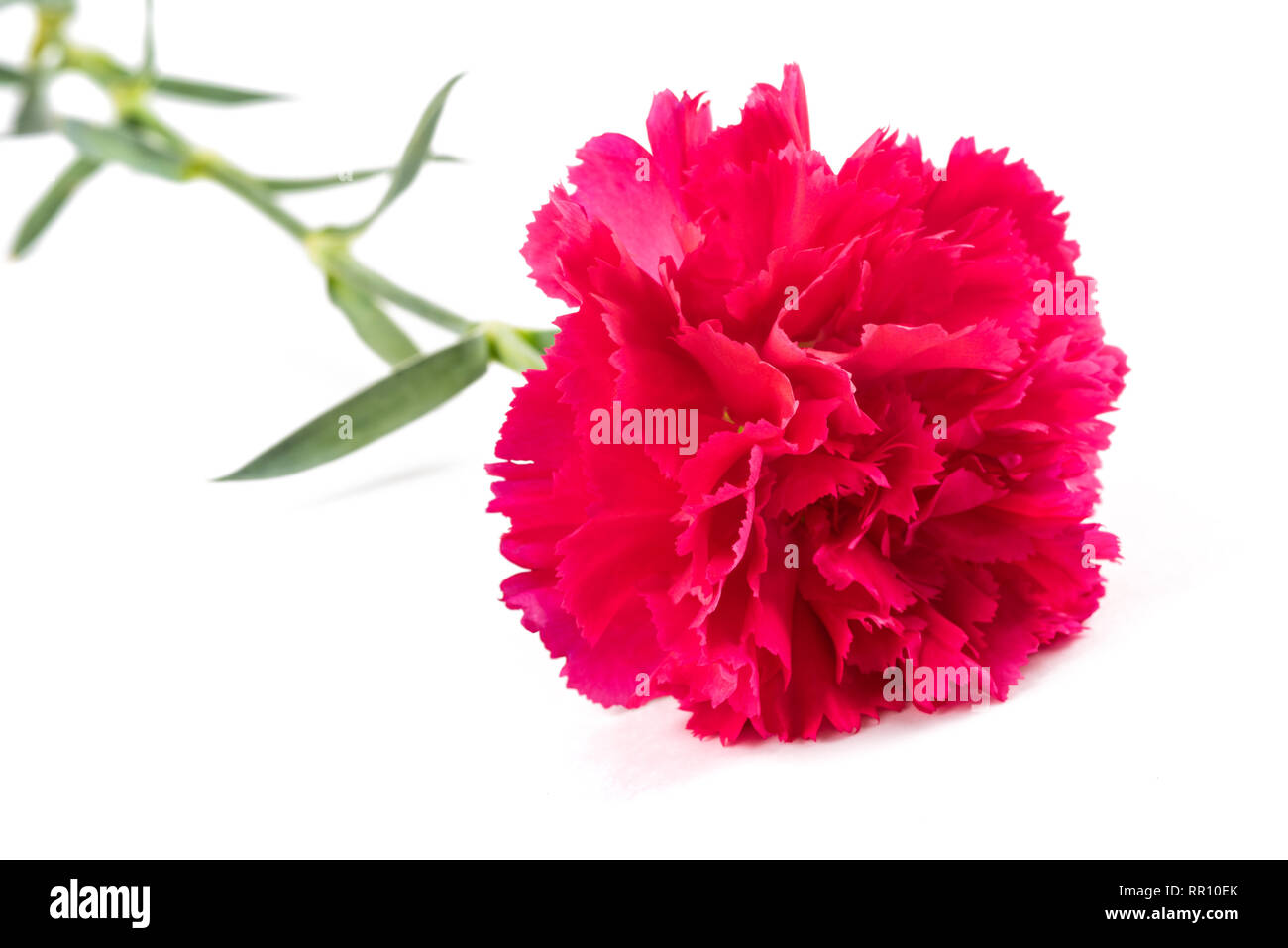 Pink carnation  isolated on white background - Stock Image