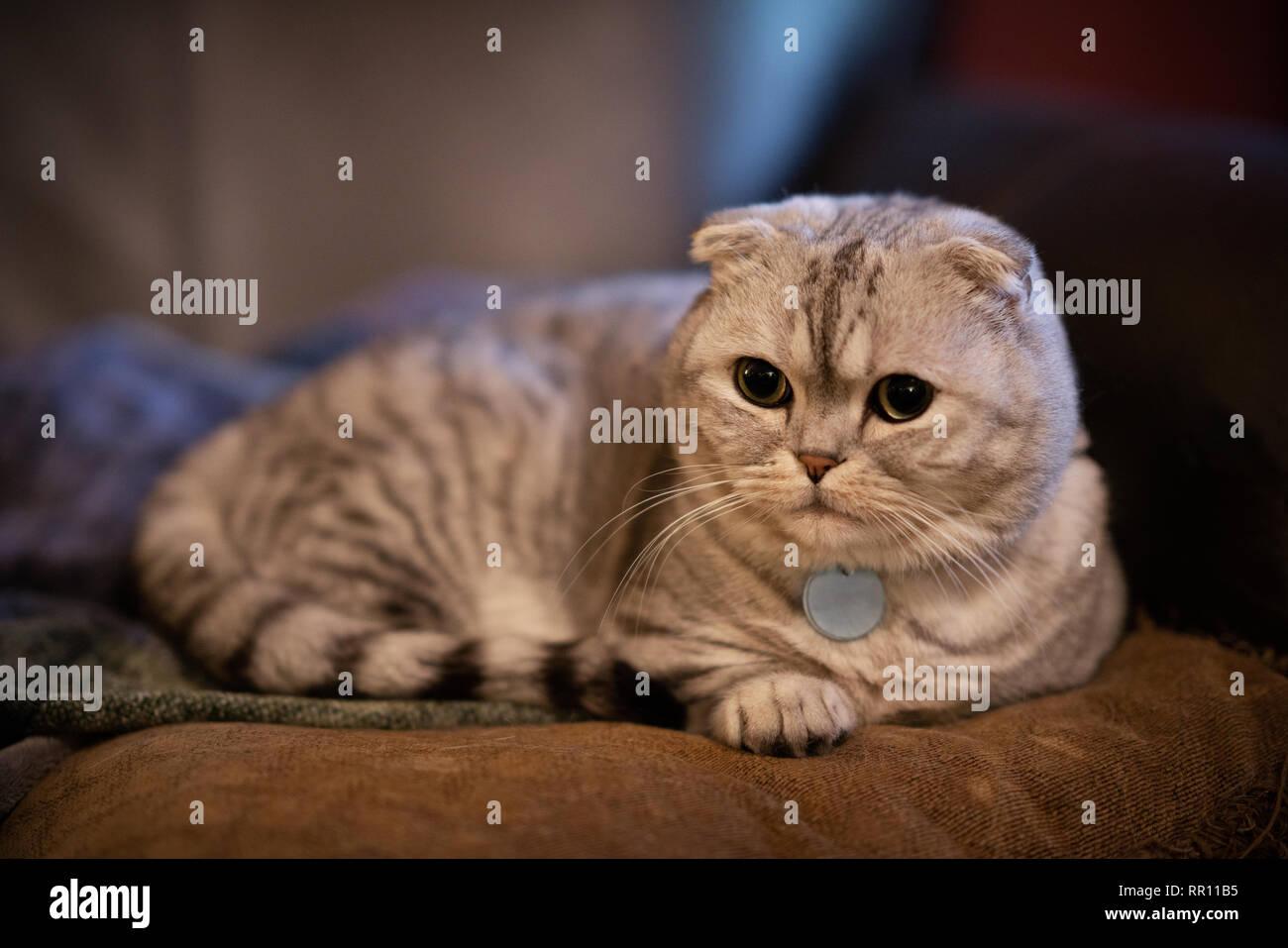 Adorable chubby scottish fold munchkin house cat lying on pillow. - Stock Image