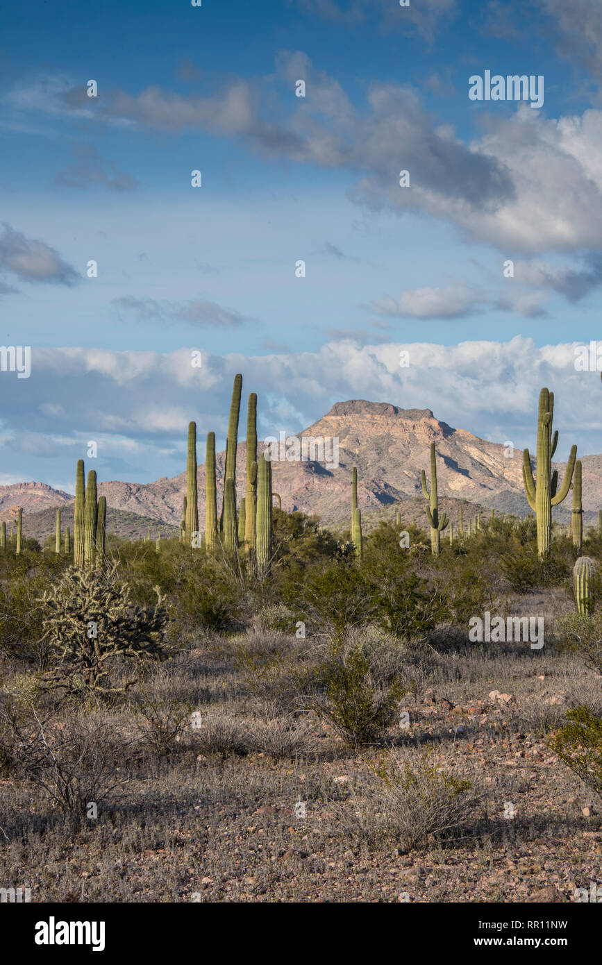 Scenic views on The Ajo Mountain Loop Road in Organ Pipe Cactus National Monument in south central Arizona on the International border with Mexico - Stock Image