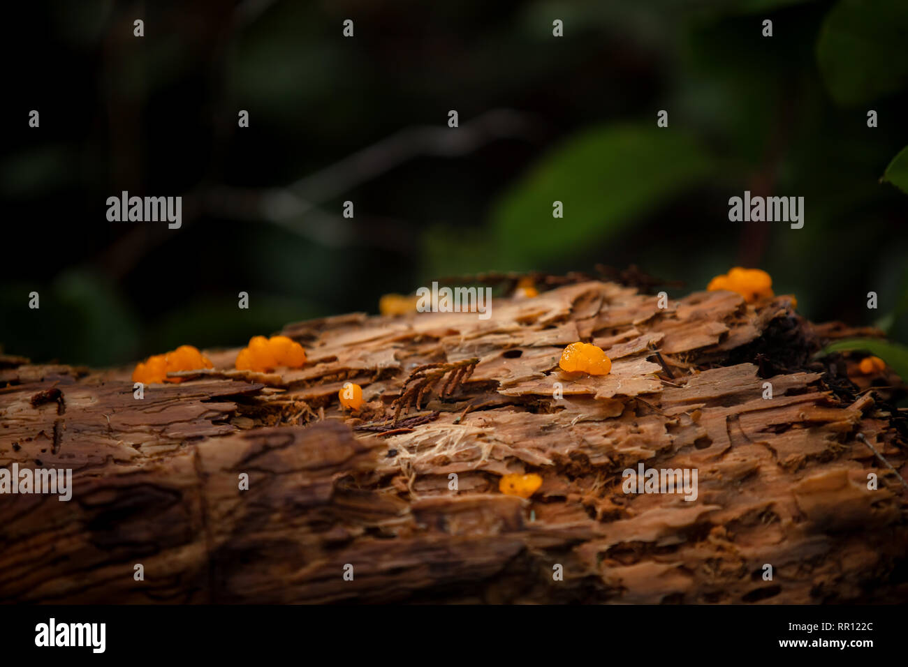 Witches butter mushroom on log - Stock Image