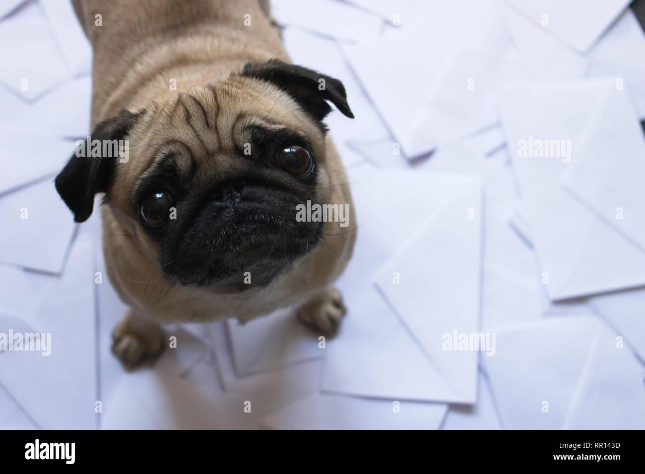 Pug standing on envelopes - Stock Image