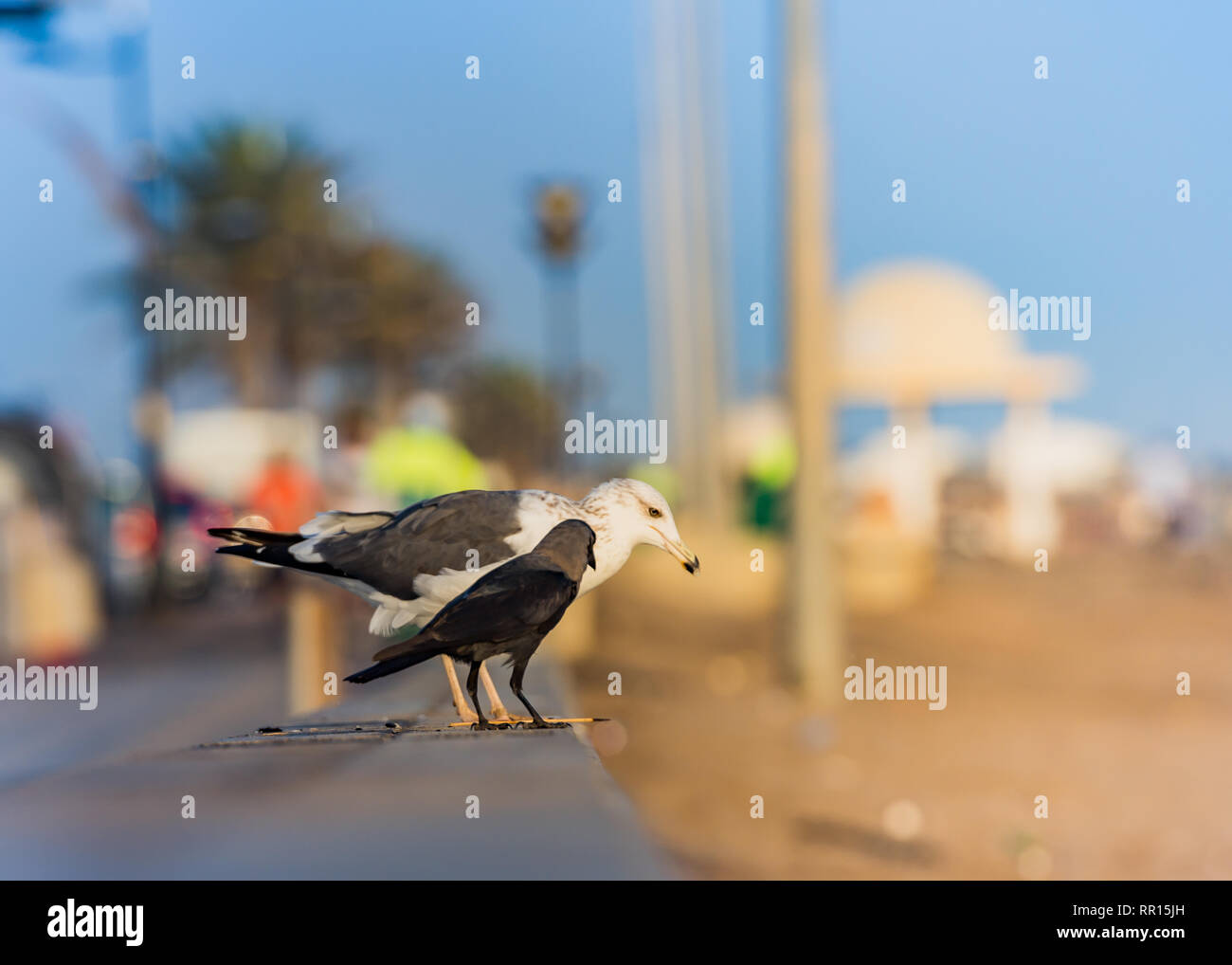 A seagull and a crow - Stock Image