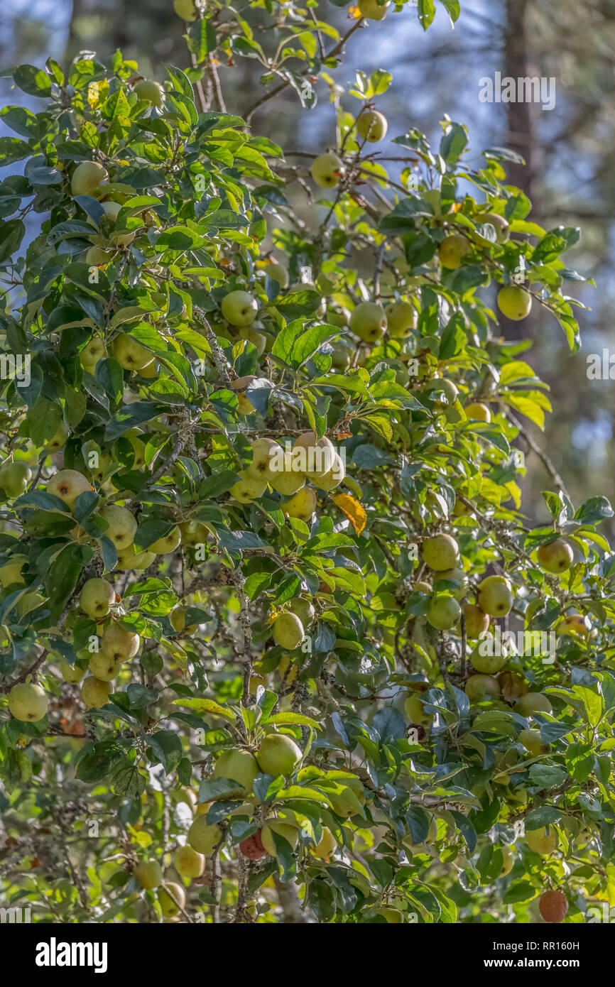View of an apple tree with fruit detail and blurred background - Stock Image