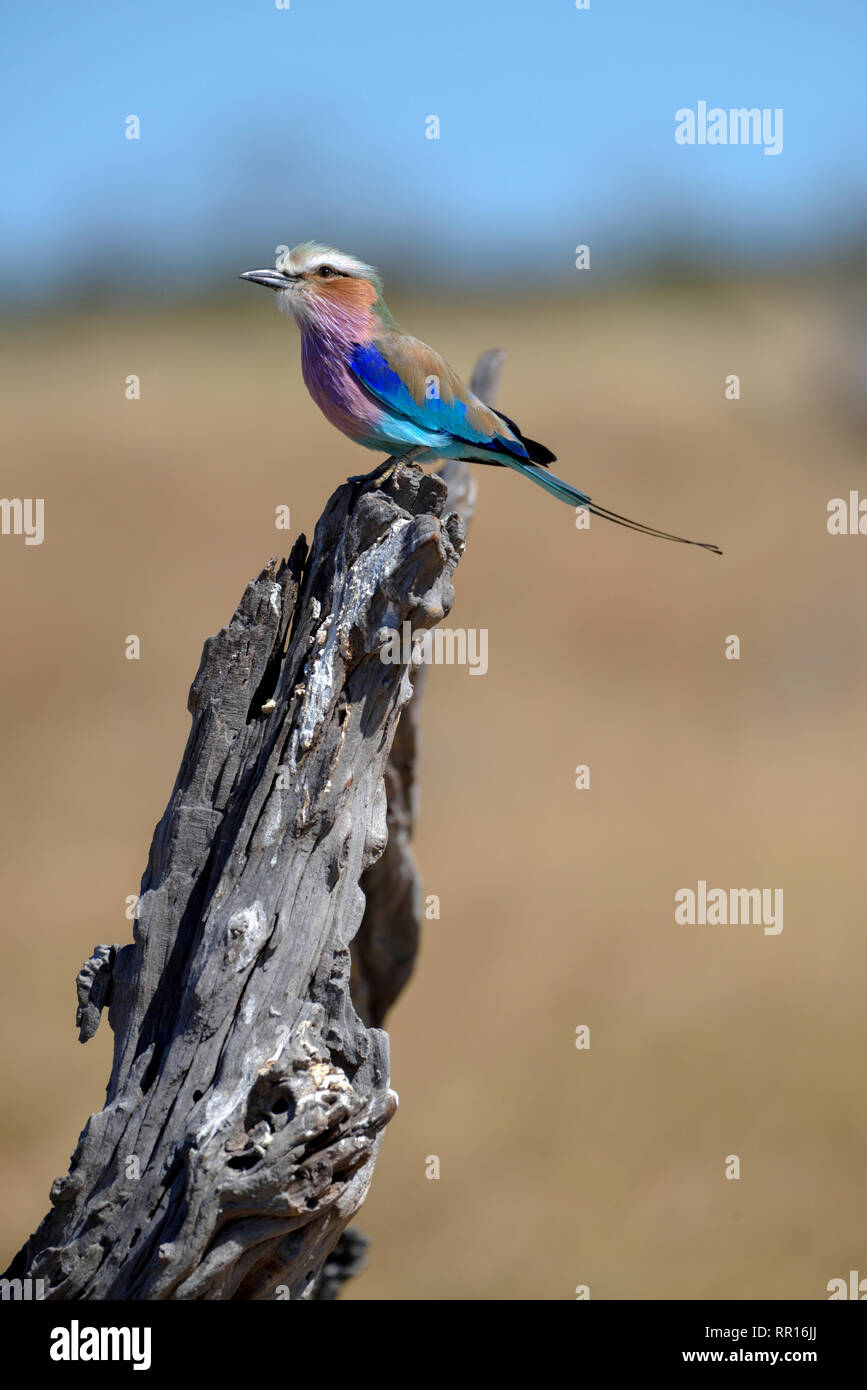 zoology, birds (Aves), Lilac-breasted Roller or fork-tailed roller (Coracias caudatus), Savuti, Chobe , Additional-Rights-Clearance-Info-Not-Available - Stock Image