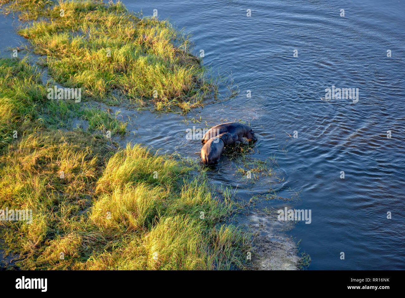 zoology, mammal (mammalia), Hippo (Hippopotamus amphibius), aerial photograph, Gomoti Plain, Okavango , Additional-Rights-Clearance-Info-Not-Available - Stock Image