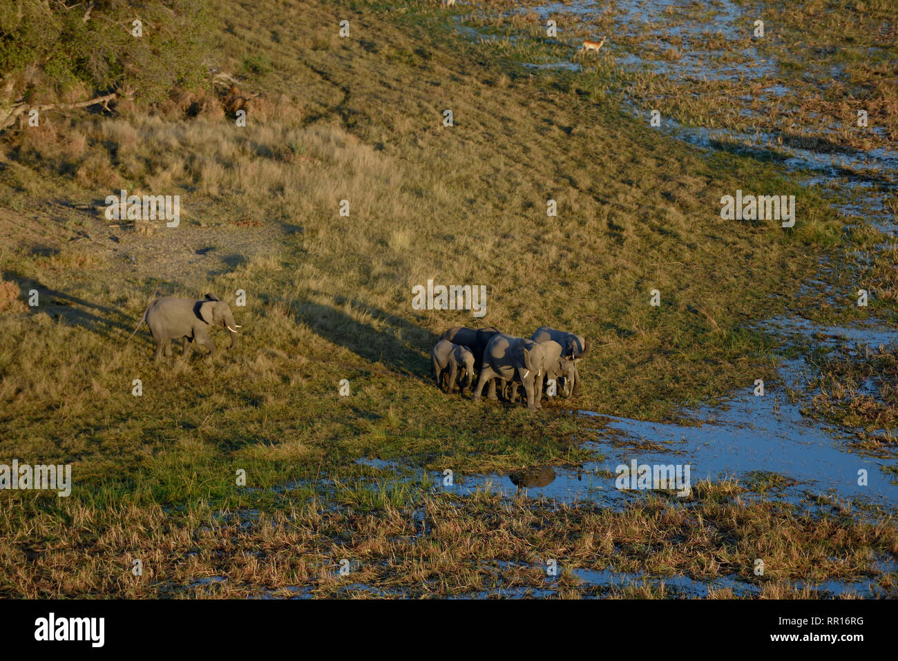 zoology, mammal (mammalia), African elephant (Loxodonta africana), aerial photograph, Gomoti Plain, Ok, Additional-Rights-Clearance-Info-Not-Available - Stock Image