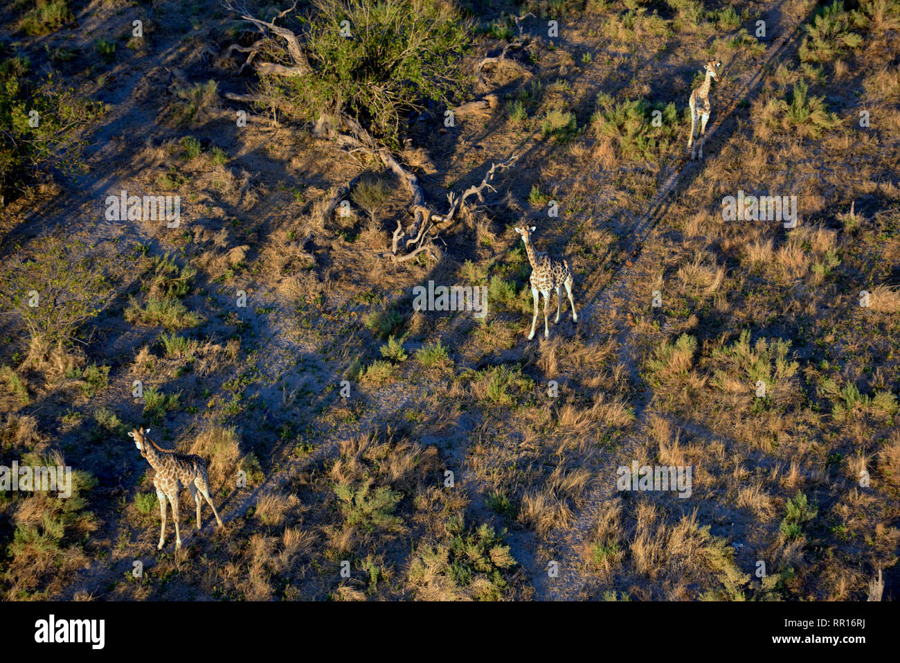 zoology, mammal (mammalia), Cape giraffe (Giraffa camelopardalis Giraffa), aerial photograph, Gomoti P, Additional-Rights-Clearance-Info-Not-Available - Stock Image
