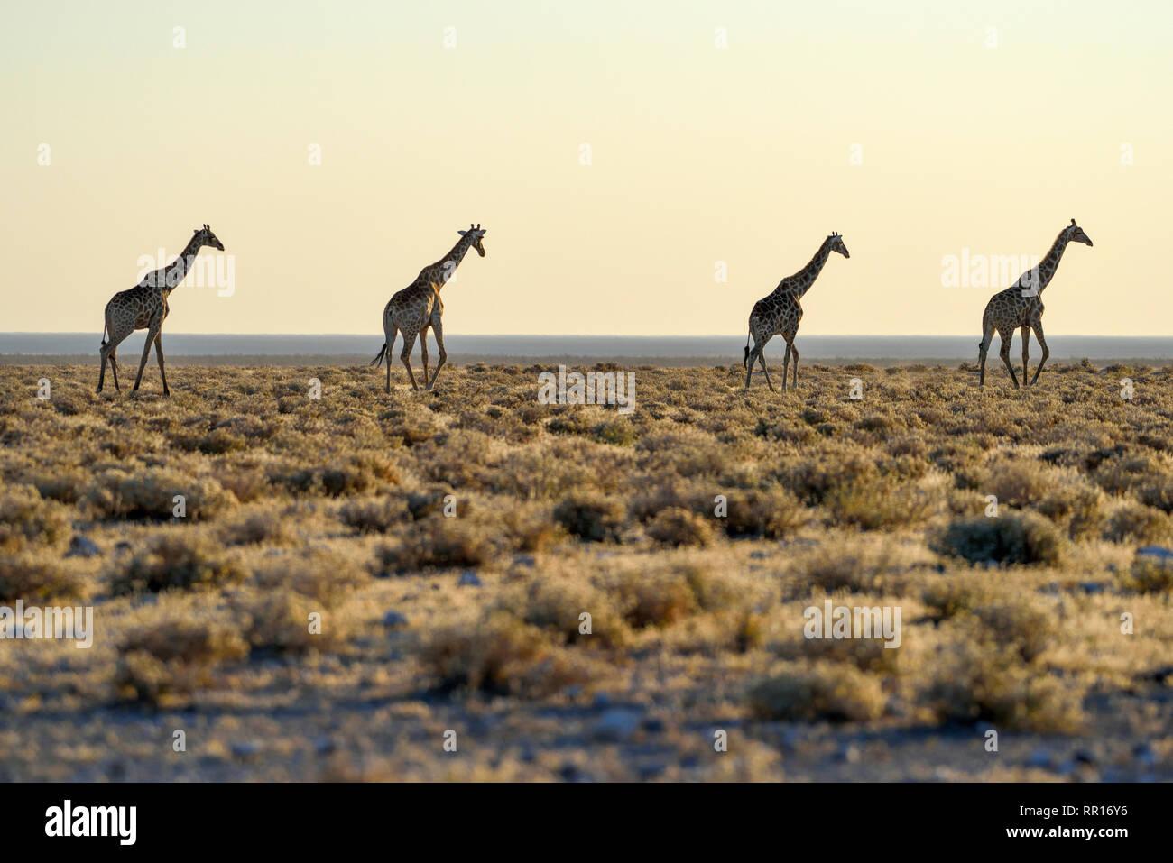 zoology, mammal (mammalia), Angola giraffes (Giraffa camelopardalis angolensis), next to Namutoni, Eto, Additional-Rights-Clearance-Info-Not-Available - Stock Image