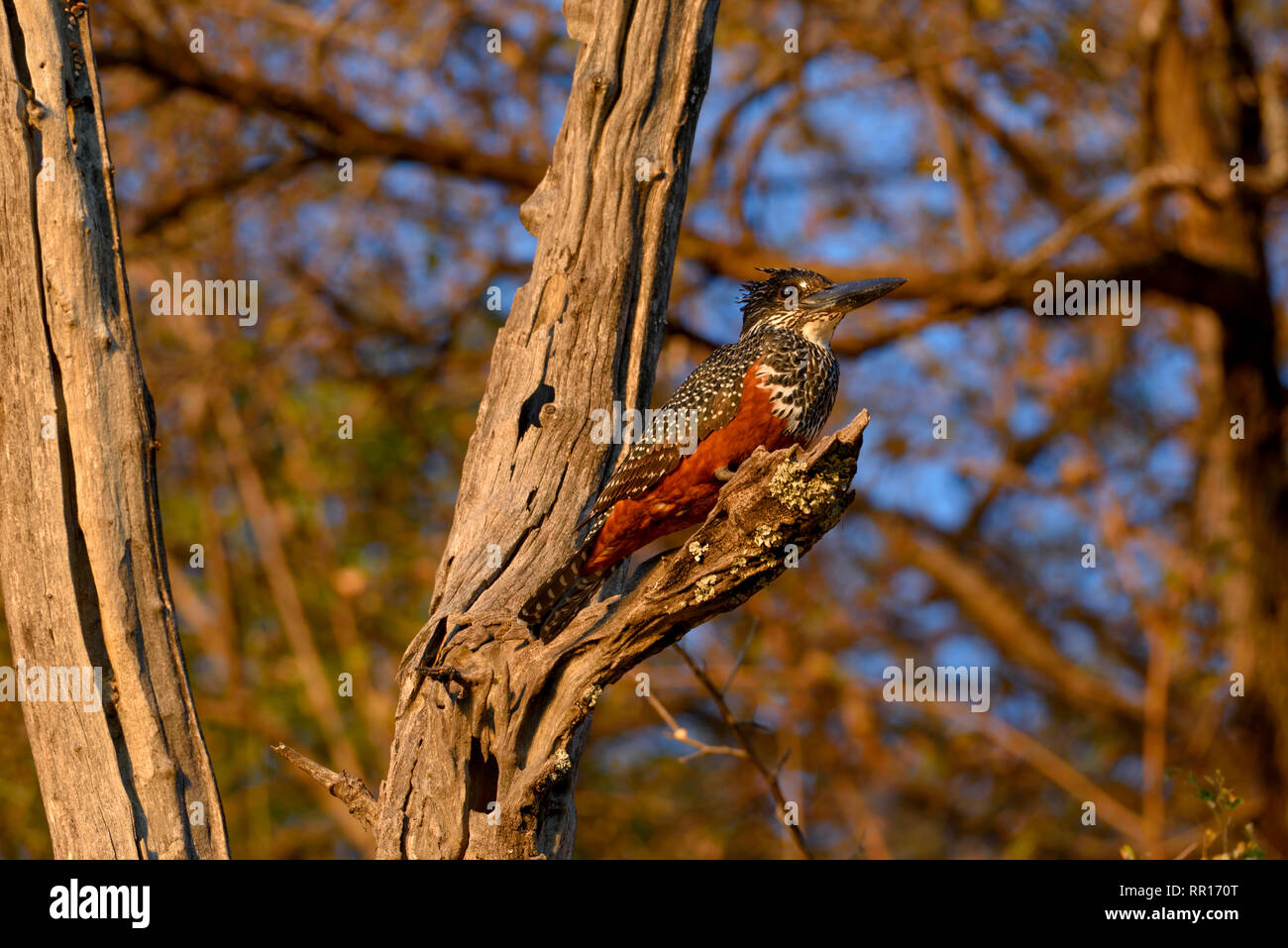 zoology, birds (Aves), Giant Kingfisher (Megaceryle maximum) on the Kavango River, next to Rundu, regi, Additional-Rights-Clearance-Info-Not-Available - Stock Image