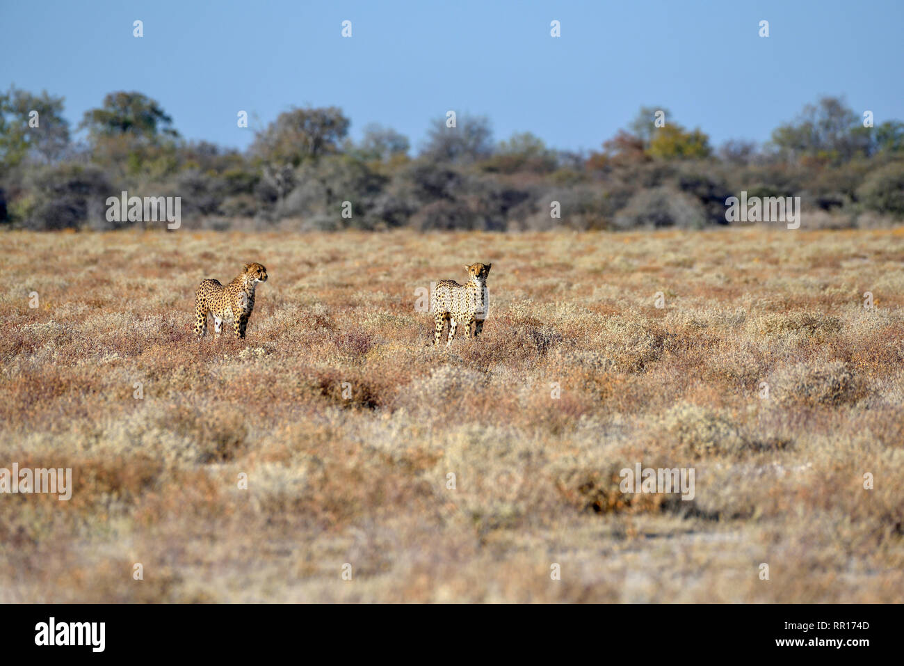 zoology, mammal (mammalia), two cheetahs (Acinonyx jubatus), masculine animals, by Namutoni, Etosha Na, Additional-Rights-Clearance-Info-Not-Available - Stock Image