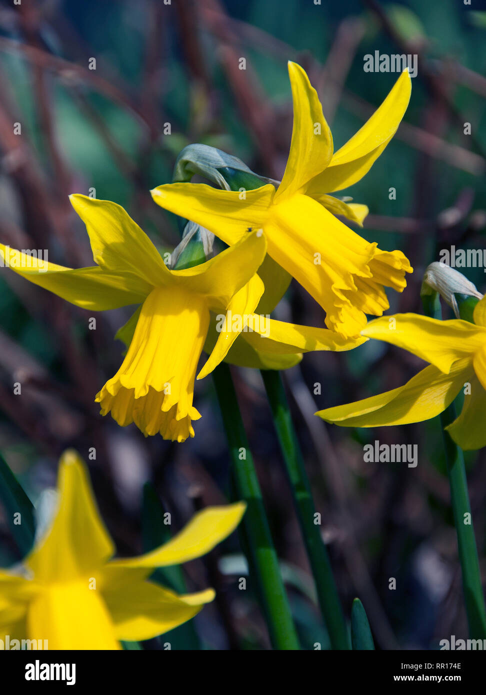 Narcissus 'February Gold' An old variety still deservedly popular. Brilliant for adding early colour , these small, cheery flowers should be planted i - Stock Image