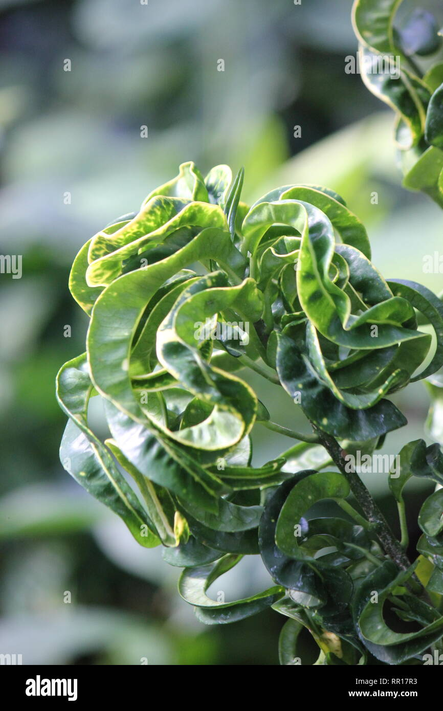 Stunning, flawless croton codiaeum, variegated croton, curly boy plant, at the Garfield Park Conservatory in Indianapolis, Indiana. Stock Photo