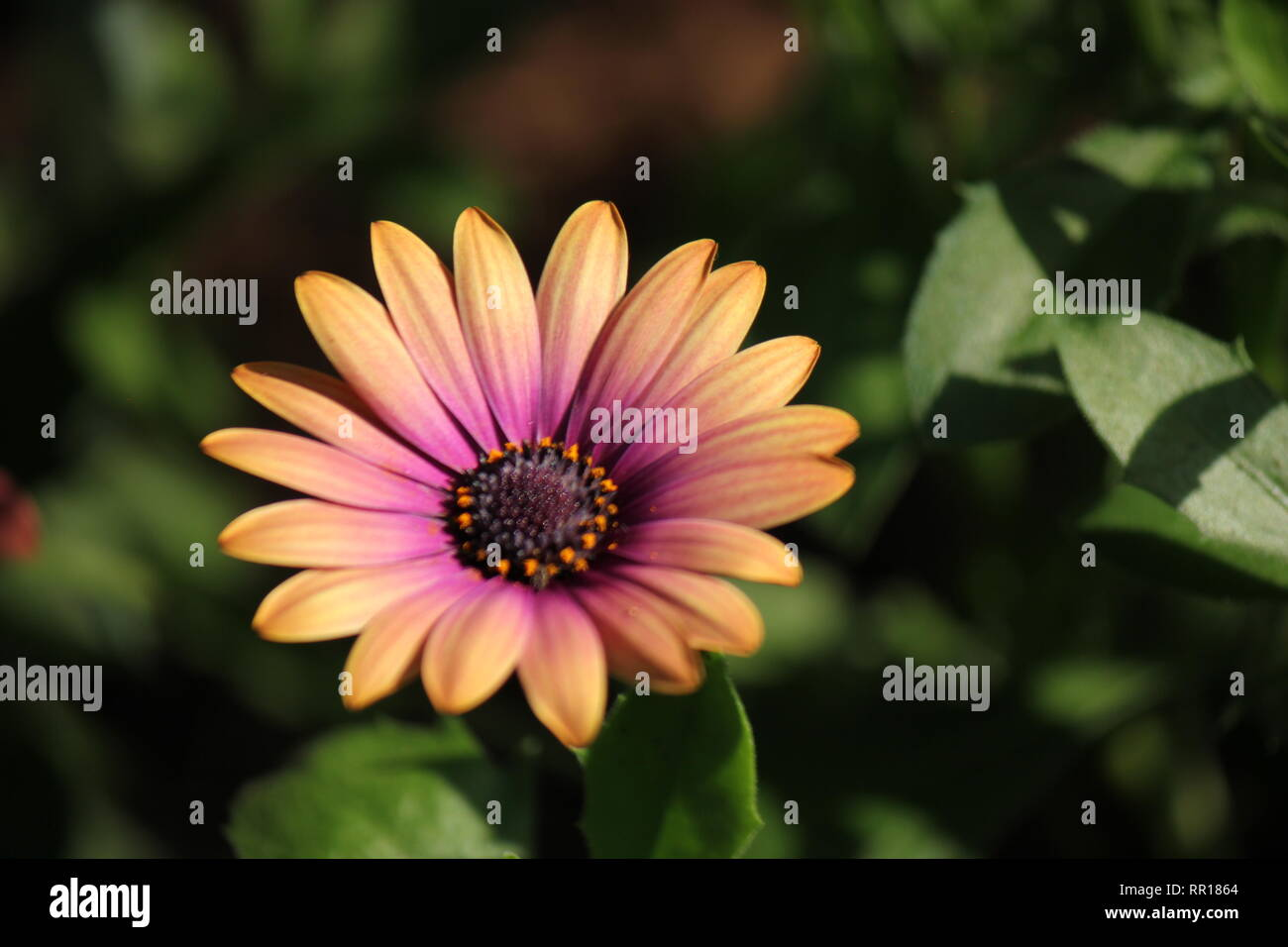 Stunning, flawless flowering African Daisy, Osteospermum ecklonis, Zion Blue Denim, plant at the Garfield Park Conservatory in Chicago, Illinois. - Stock Image