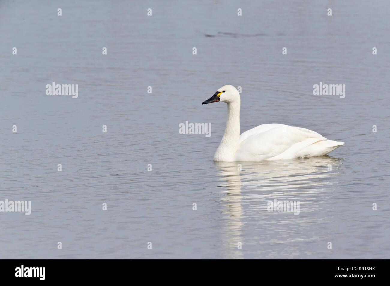 Tundra Swan, Cygnus columbianus Stock Photo