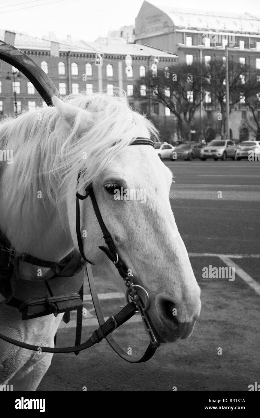 Funny cute white horse harnessed to a walking carriage waiting for the tourists on the city street - Stock Image