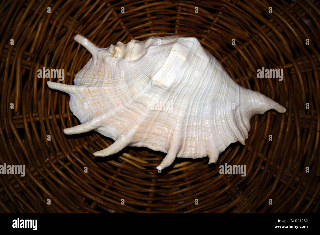 Huge white sea shell with a pearl tone lying on a wicker stand - Stock Image