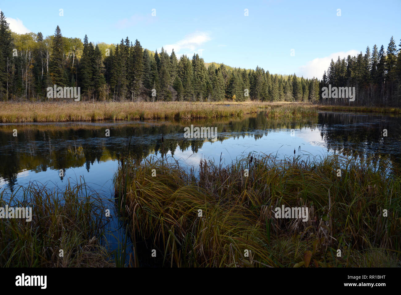 A coniferous forest at dusk on the marshy banks of Waskesiu Lake in Prince Albert National Park in northern Saskatchewan, Canada. - Stock Image