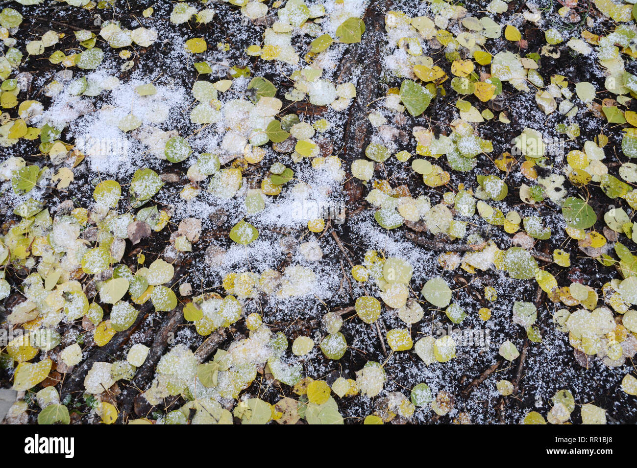 Dead autumn aspen leaves on the forest floor covered with fresh snow in Prince Albert National Park, northern Saskatchewan, Canada. Stock Photo