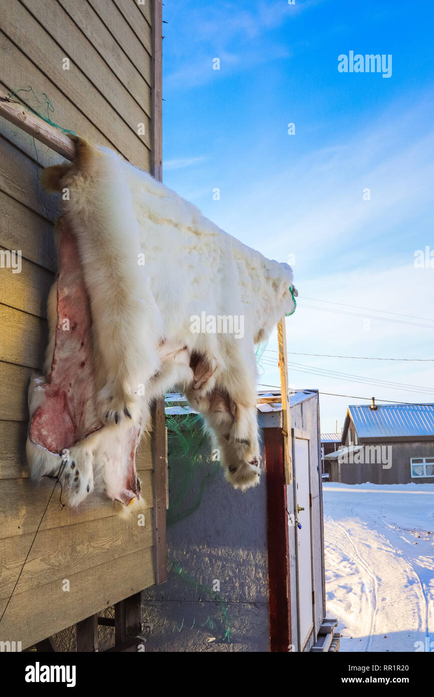 The skin of a polar bear hangs outside a home to cure. - Stock Image
