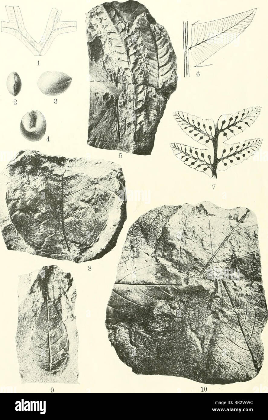 . Additions to the flora of the Wilcox group. Paleobotany -- Eocene. r. S. i, [i u OGII l. SURVEY PROFESSIONAL TAPER 131 PLATE IV. FOSSIL PLANTS OF THE WILCOX GROUP. I. Marchantites stephensoni Berry, Jacksonville, Ark.; 2-4, Palmocarpon butlerensis Perry, near Oakville, Tex.; • ? Di yopteris cladophleboides K nowlton, Goss pit, near Mansfield, La. (6, pinnule to show venalion. enlarged 5 diameters; 7, fertile pinnules, enlarged 5 diameters); 8-10, Artocarpoides balli Berry, Goss pit, near Mansfield, La.. Please note that these images are extracted from scanned page images that may have been  - Stock Image