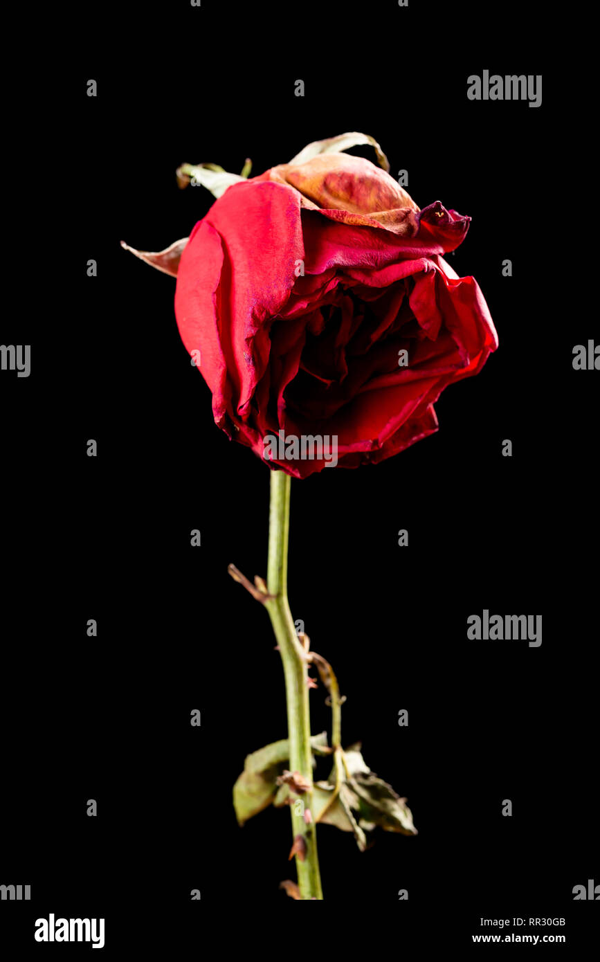Faded Rose On A Black Background Stock Photo Alamy