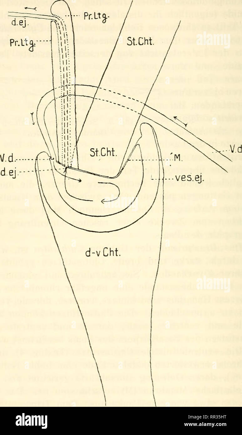 . Acta Soc. pro Fauna et Flora Fennica. Natural history. 30 hirschmann, Beitrag zur Kenntnis der Ostrakodenfauna.. Textfig. 4. Schema des Ejaculationsapparates der Gattung Cytheridea V. d. — Vas deferens; ves. ej. -- Vesica ejaculatoria; M. — Membran; d. ej. - Ductus ejaculatorius; d. v. Cht. — distale ventrale Chitinstiitze des Basalkorpers; St. Cht. -- Stempel-chitinstiick; Pr. Ltg. -- proxi- males Leitungs-chitinstiick.. Please note that these images are extracted from scanned page images that may have been digitally enhanced for readability - coloration and appearance of these illustration - Stock Image