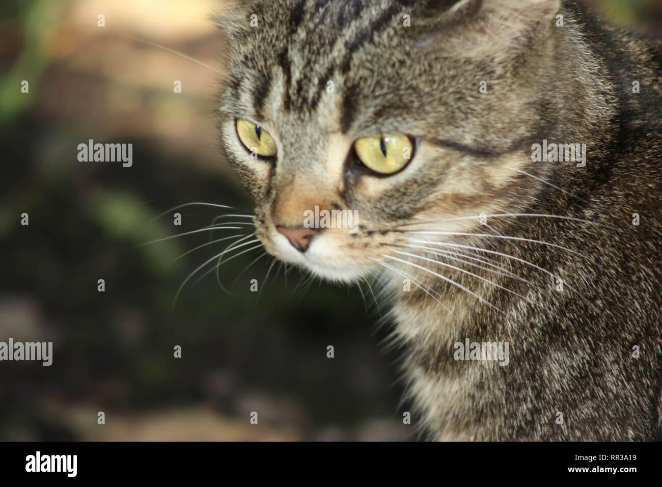 Isolated Closeup portrait of a female tabby cat outside with blurred out background - Stock Image
