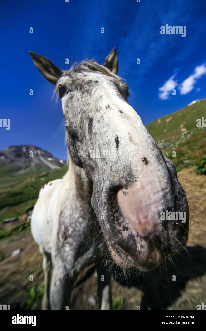 Dapple grey horse in French Alps. - Stock Image
