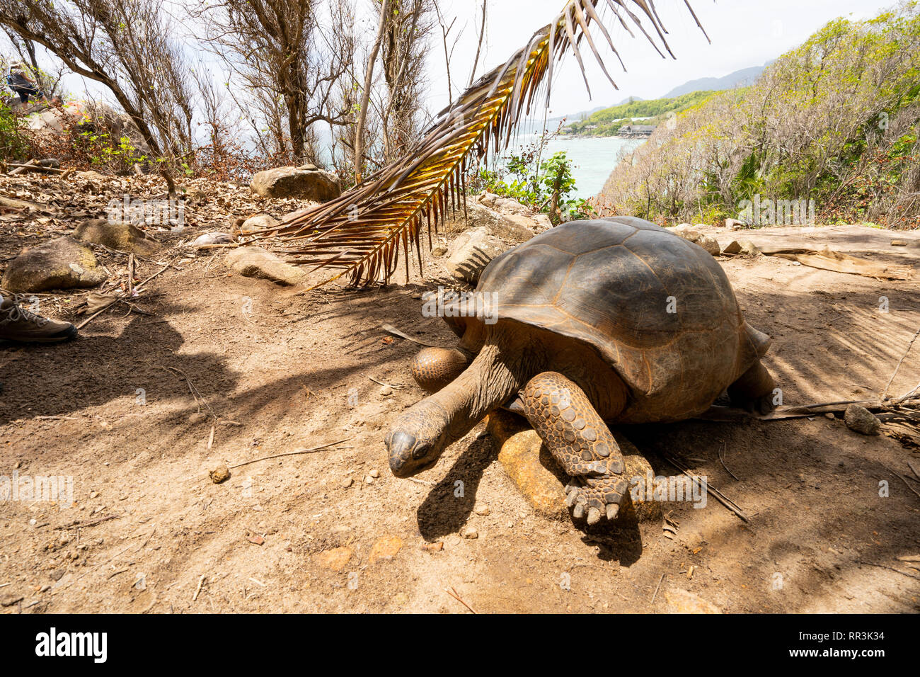 The Aldabra giant tortoise (Aldabrachelys gigantea), from the islands of the Aldabra Atoll in the Seychelles, is one of the largest tortoises in the w - Stock Image