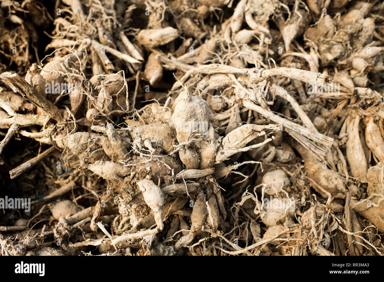 Background texture of dahlia bulbs waiting to be transplant in spring on a flower farm or nursery in a close up full frame view - Stock Image