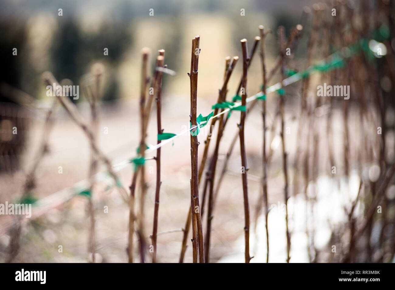 Raspberry canes cultivation in winter outdoors on a farm or garden in a close up view - Stock Image